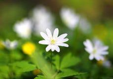 Biały anemonowy kwiat makro- Obraz Royalty Free