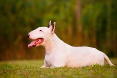 Biały anglików Bull terrier pies Zdjęcie Stock