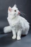 Biały angorski kot 01 Obrazy Royalty Free
