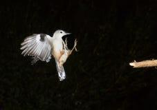 Biały bargla latanie (Sitta carolinensis) Zdjęcie Stock