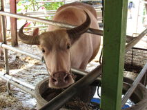 Biały Bawoli Tajlandia Obraz Stock