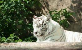 Biały Bengal tygrysa dosypianie Zdjęcie Stock