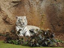 Biały Bengalia tygrys, Loro Parque, Tenerife Zdjęcie Stock