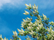 Biały bez na tle niebieskie niebo Zdjęcia Stock