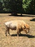 Biały bizon Zdjęcia Stock