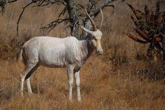 Biały blesbok (Damaliscus pygargus phillipsi) Fotografia Stock