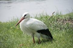 Biały bocian przy jeziorem Fotografia Royalty Free
