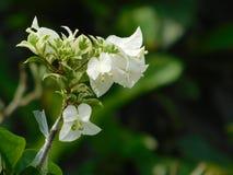 Biały Bougainvillea kwiat fotografia stock