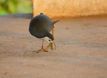 Biały - breasted waterhen ptaka Fotografia Royalty Free