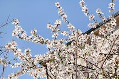 Biały budynek w background/Kwitnie owocowych drzewa i/Kwitnie moreli przeciw niebieskiemu niebu obraz royalty free