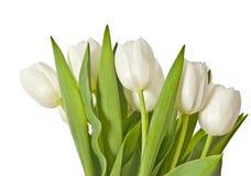 biały bukietów tulipany Zdjęcia Royalty Free