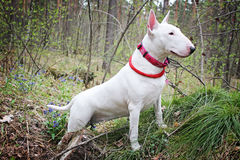 Biały Bullterrier na naturze Obraz Royalty Free