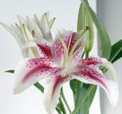 biały burgund lily Zdjęcie Royalty Free