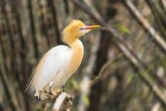 Bia?y byd?a egret znajduj? w bambusowych drzewach nadjeziorny Pokhara Nepal obraz royalty free