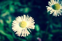 Biały chamomile Fotografia Stock