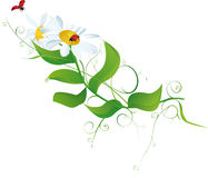biały chamomiles ladybirds Obraz Stock