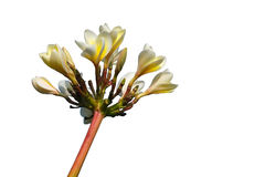 Biały Champa kwiat zdjęcia royalty free