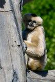 Biały Cheeked Gibbon 2 zdjęcia royalty free