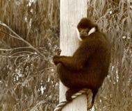 Biały Cheeked Gibbon w sepiowym Zdjęcie Royalty Free