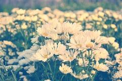 Biały chryzantemy pole Fotografia Royalty Free