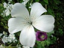 Biały corncockle Agrostemma githago kwiat Zdjęcie Royalty Free
