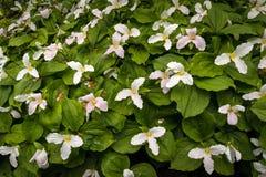 Biały Cornus w kwiacie z wielkimi kwiatami Obrazy Royalty Free