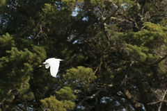 Biały czapli latanie Fotografia Royalty Free