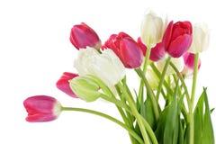 biały czerwoni tulipany Zdjęcia Stock