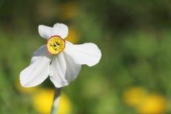 Biały daffodil na tle zielona trawa Obraz Stock