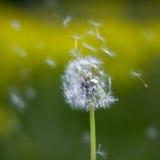 Biały dandelion w zielonej trawie Obraz Royalty Free