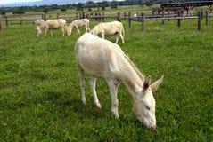 Biały dinkey Zdjęcia Royalty Free
