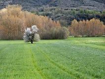 Biały drzewo, Hiszpania Zdjęcia Royalty Free