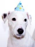 biały duchownego Russell teriera szczeniak jest ubranym urodzinowego kapelusz Obrazy Stock