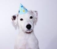 biały duchownego Russell teriera szczeniak jest ubranym urodzinowego kapelusz Obraz Stock