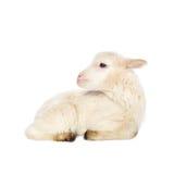 Biały dziecko baranek Zdjęcia Stock