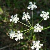biały dziki kwiat Zdjęcia Royalty Free