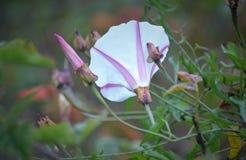 biały dziki kwiat Obrazy Stock