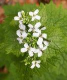 biały dzikie kwiaty Zdjęcia Stock