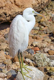 Biały Egret Fotografia Stock