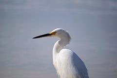 biały egret Obraz Royalty Free