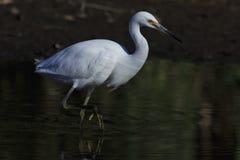 Biały Egret 02 Zdjęcia Royalty Free
