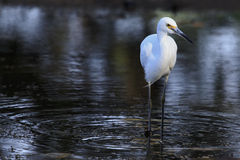 Biały Egret 01 Fotografia Stock