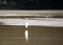 biały egret Obraz Stock