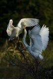 Biały Egret karmienie Obrazy Stock