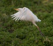 Biały egret na Oahu Zdjęcie Royalty Free