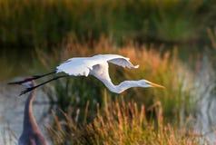 Biały egret w locie w Floryda Obrazy Royalty Free