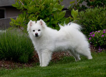 Biały Eskimoski trakenu pies Zdjęcie Royalty Free