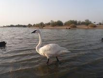 Biały flaming zdjęcia stock