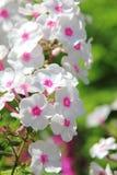 Biały floks. Lato kwiat. Obrazy Royalty Free