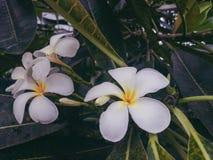 Biały frangipani Zdjęcia Royalty Free
